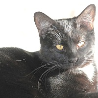 Bombay Cat for adoption in Rawlins, Wyoming - Sid and Seth
