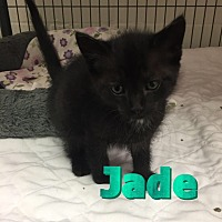 Domestic Shorthair Cat for adoption in Barnwell, South Carolina - Jade