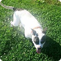 American Bulldog/Blue Heeler Mix Dog for adoption in Nashville, Tennessee - Butterbean