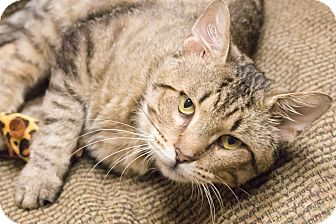 Domestic Shorthair Cat for adoption in Chicago, Illinois - Darcy