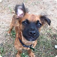 Adopt A Pet :: Sugar - Bristol, CT
