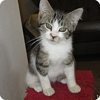 Domestic Shorthair Kitten for adoption in Monticello, Iowa - McCoy