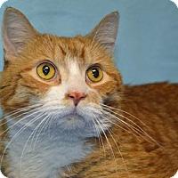 Domestic Shorthair Cat for adoption in Media, Pennsylvania - Morris