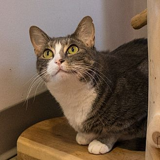 Domestic Shorthair Cat for adoption in Houston, Texas - Aurora