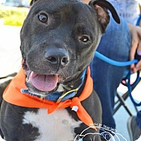 American Staffordshire Terrier/Labrador Retriever Mix Puppy for adoption in San Diego, California - Nixon