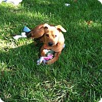 Adopt A Pet :: Baby Boy - Laingsburg, MI