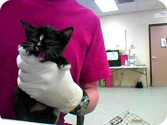 Domestic Mediumhair Cat for adoption in Conroe, Texas - MOONPIE