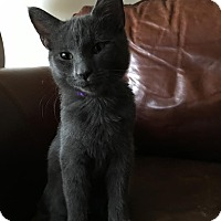 Domestic Shorthair Kitten for adoption in Rochester Hills, Michigan - Scout