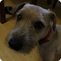 Cairn Terrier/Jack Russell Terrier Mix Dog for adoption in Wichita Falls, Texas - Bo