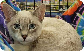 Snowshoe Kitten for adoption in Powder Springs, Georgia - ARRIETA