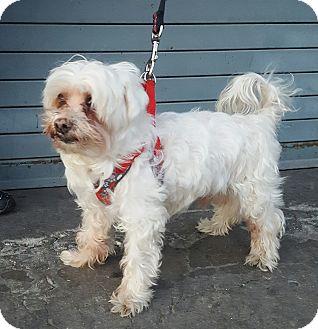 Maltese Dog for adoption in Bronx, New York - Boris