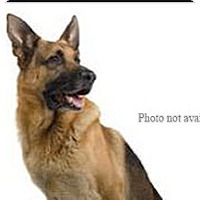 German Shepherd Dog/Chow Chow Mix Dog for adoption in San Bernardino, California - URGENT ON 12/3  San Bernardino