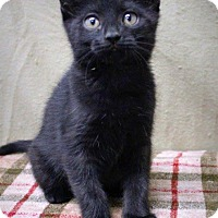 Adopt A Pet :: Brianna-Adorable kitten - Taylor Mill, KY