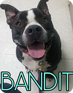 American Staffordshire Terrier Mix Dog for adoption in Union City, Tennessee - Bandit