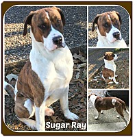 Adopt A Pet :: SUGAR RAY - Malvern, AR
