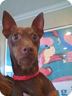 Miniature Pinscher Dog for adoption in Anaheim, California - Patriot