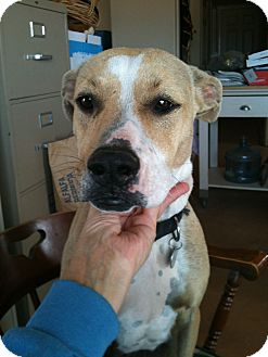 Boxer Mix Dog for adoption in Phoenix, Arizona - Pickles