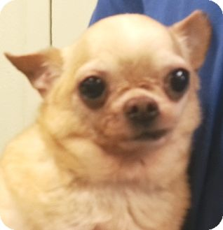 Chihuahua Dog for adoption in Orlando, Florida - Max