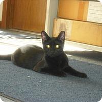 Bombay Kitten for adoption in Mesa, Arizona - Al