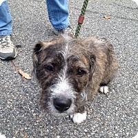 Adopt A Pet :: Adele - Rockaway, NJ