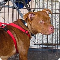 Adopt A Pet :: Donatella - Holmes Beach, FL
