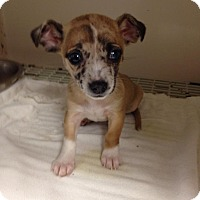 Adopt A Pet :: Sweet Tater - Shawnee Mission, KS