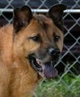 Shepherd (Unknown Type)/Chow Chow Mix Dog for adoption in Jackson, Mississippi - Oakley