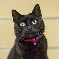 Domestic Shorthair Cat for adoption in Houston, Texas - Sunny