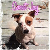 Adopt A Pet :: Joy - Lebanon, CT