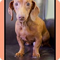 Adopt A Pet :: Tuna (pom-dc) - Spring Valley, NY