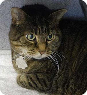 Domestic Shorthair Cat for adoption in Evans, Colorado - Phoebe Cat