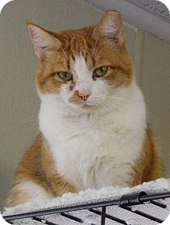 Domestic Shorthair Cat for adoption in Winston-Salem, North Carolina - Carmen