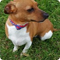 Adopt A Pet :: Jack in Austin - Austin, TX