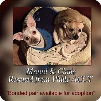Chihuahua Mix Dog for adoption in Doylestown, Pennsylvania - Manni & Chula (bonded pair)