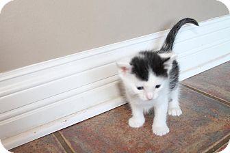 Calico Kitten for adoption in Louisville, Kentucky - Max
