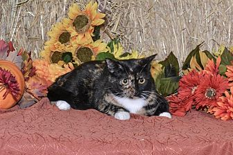 Domestic Shorthair Cat for adoption in Delmont, Pennsylvania - Gemi