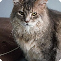 Domestic Longhair Cat for adoption in Montreal, Quebec - Aniko