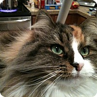 Siberian Cat for adoption in Greenwood Vlg, Colorado - Chingi
