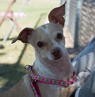 Italian Greyhound/Chihuahua Mix Dog for adoption in Phoenix, Arizona - Daisy
