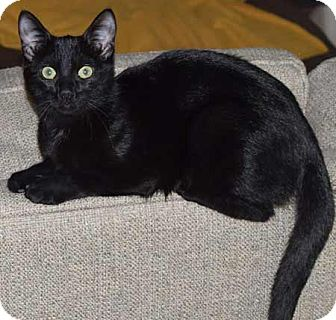 Domestic Shorthair Kitten for adoption in Flower Mound, Texas - Shadow