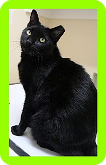 Domestic Shorthair Cat for adoption in Euless, Texas - Chris - Courtesy Posting