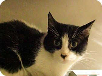 Domestic Shorthair Cat for adoption in Hamilton, Ontario - Jacques