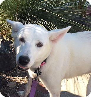 Shepherd (Unknown Type) Mix Dog for adoption in pasadena, California - NADIA