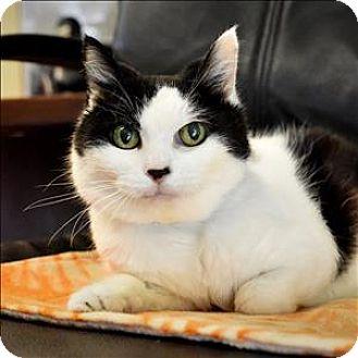 Manx Cat for adoption in Sherwood, Oregon - Rosemary