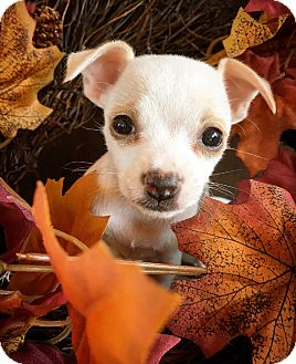 Chihuahua Mix Puppy for adoption in Fredericksburg, Texas - Lolly Pop
