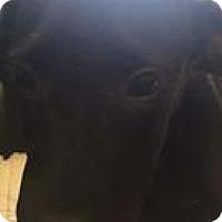 Adopt A Pet :: Harley - Patterson, NY