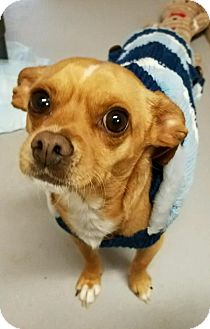 Chihuahua Mix Dog for adoption in Templeton, Massachusetts - Prince & Hershey