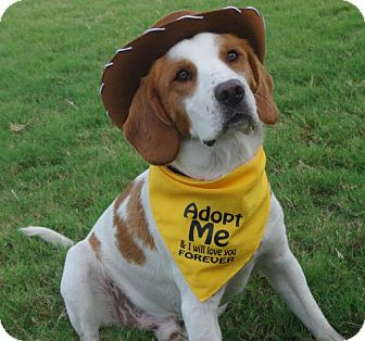 Brittany/Hound (Unknown Type) Mix Dog for adoption in Normal, Illinois - OK/Daniel