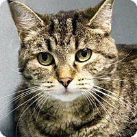 Domestic Shorthair Cat for adoption in West Des Moines, Iowa - Bertha