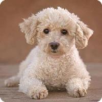 Miniature Poodle Dog for adoption in Colorado Springs, Colorado - Cameo